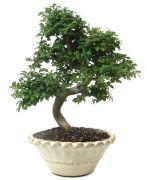 €168,-  16 jaar oud en 29cm hoog www.bonsai.de