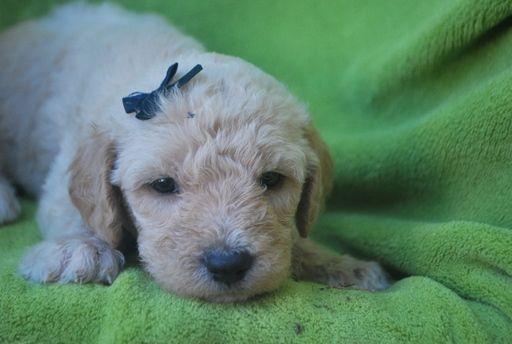 Litter of 9 Labradoodle puppies for sale in ALPINE, UT. ADN-32236 on PuppyFinder.com Gender: Female. Age: 4 Weeks Old