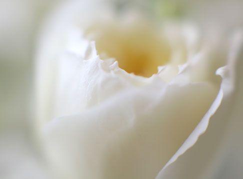 White Patience Garden Rose 39 best garden roses images on pinterest | garden roses, david