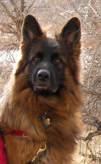 German Shepherd Timber Wolf Puppies | Little Bit of Dog ...