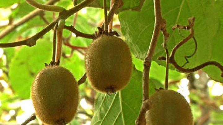 selbstfruchtende Kiwi 'Solo' - Actinidia deliciosa 'Solo'