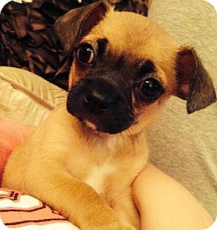 Best 25 Pug Chihuahua Mix Ideas On Pinterest Chug Dog