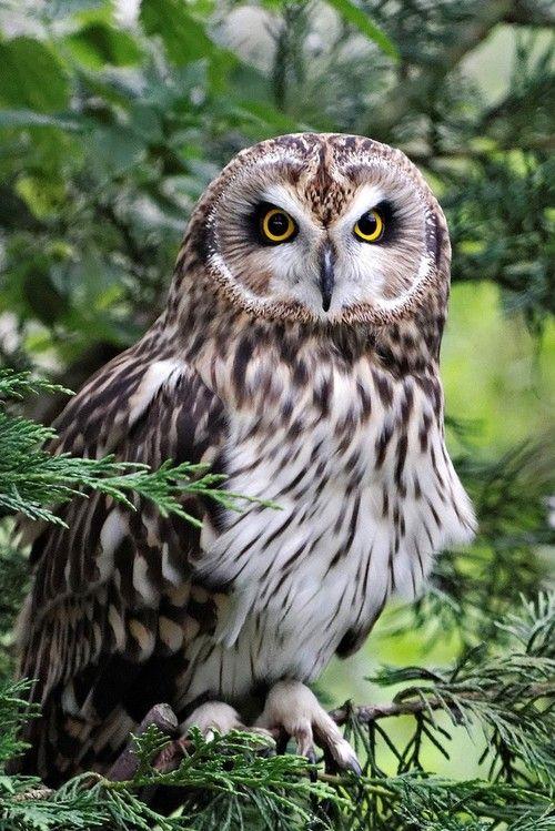 **Short-eared Owl at British Wildlife Centreby Crestie Crazy