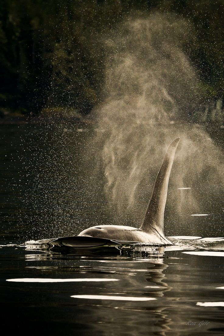The breath of a killer whale in SE Alaska. This is by far the best picture I've seen of a wild orca... stunning!