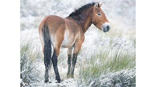 Caballo de Przewalski (Equus ferus).