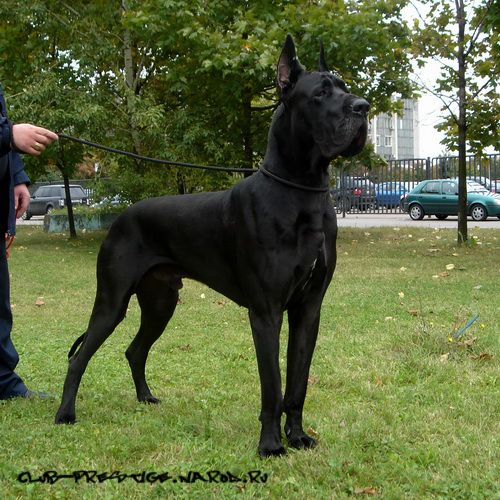 Another handsome Black Great Dane
