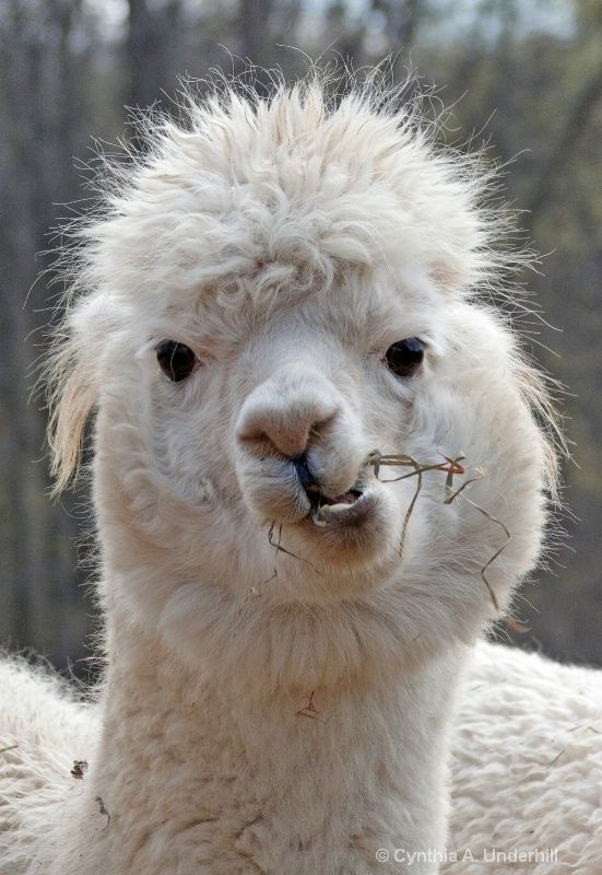 Best Alpagas Images On Pinterest Farm Animals Alpacas And - 22 hilarious alpaca hairstyles