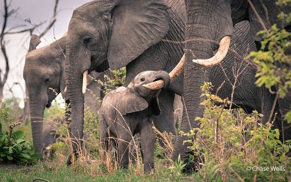 Baby elephant at Savuti #Botswana #safari