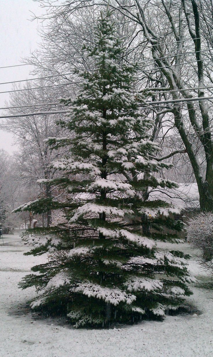 14 best Tree Types images on Pinterest   Christmas tree, Christmas trees and Christmas tress