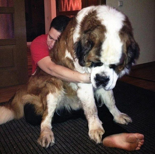 Down boy, down! Hilarious pictures of the giant dogs that ...