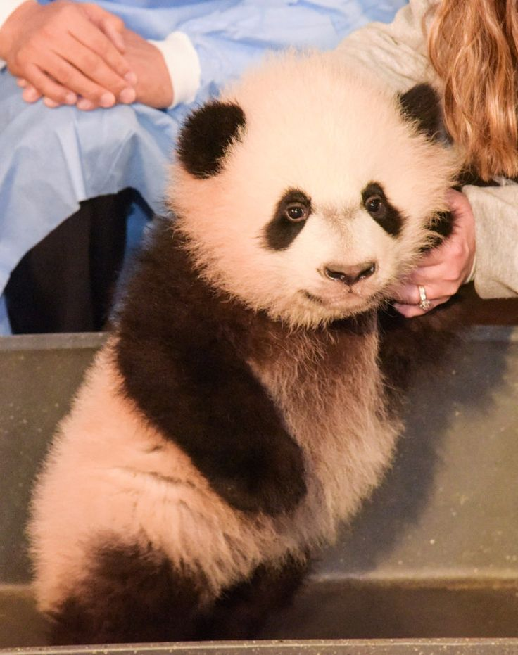 Bei Bei now weighs more than 17 pounds and will make his official entrance on Jan. 16. | Bei Bei The Baby Panda Waved At A Camera And It Will Make You So Happy