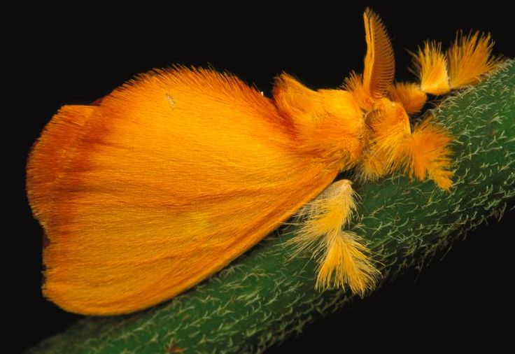 Fuzzy Jewel This tropical jewel moth, Acraga coa, is found mostly in Central America. Jewel moths undergo a spectacular transformation: from translucent larvae covered in protective goo to vibrant fuzzy fliers.  PHOTOGRAPH BY MARK MOFFETT,