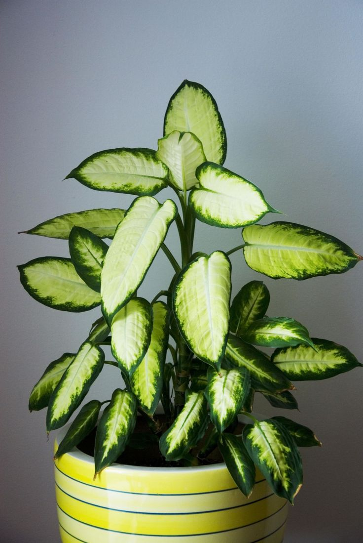 Filtered light is best for this plant. Try using a curtain as a barrier between it and the sun, especially during the the spring and summer when the plant is producing new, tender leaves.   - HouseBeautiful.com