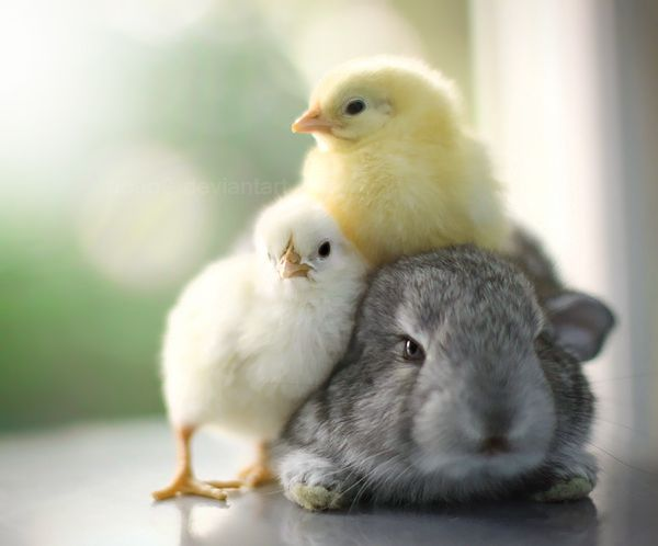 Cuddling..: Baby Chick, Animal Photography, Cuddling, Snuggle, New Life, Easter Bunnies, Spring, Happy Easter, Furry Friends