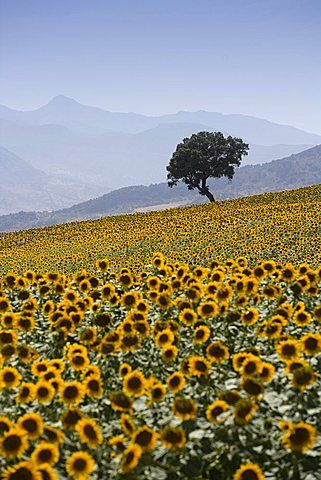 Sunflowers, near Ronda, Andalucia (Andalusia), Spain