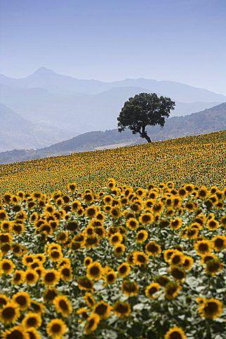 Sunflowers, near Ronda, Andalucia (Andalusia), Spain