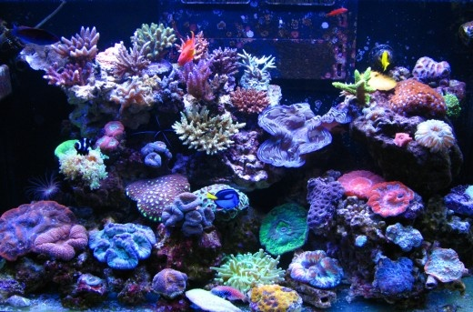 My Red Sea Max 250 Reef Reef Tank Inspiration Pinterest Red Sea Reef Tanks And Aquariums