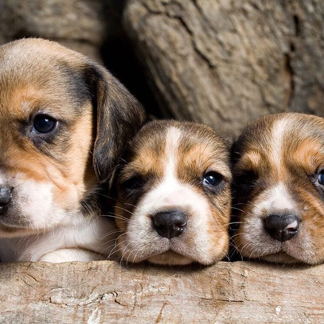 Beagles were bred to hunt in packs, so they enjoy the company of other dogs and of people as well.