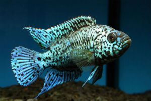 Jack Dempsey Fish | Home > Jack Dempsey Fish For Sale and Blue Jack Dempsey For Sale