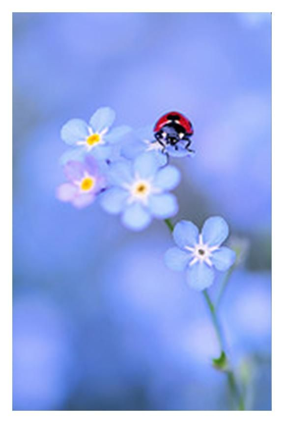 Ladybug on flower.: Blue Flowers, Little Red, Awesome Pictures, Color, Ladybugs, Forget Me Not, Photos Art, Lady Bugs, Forgetmenot