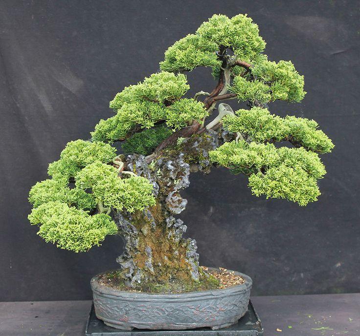 Specimen Juniper on Rock bonsai - Kimura Nursery Tree