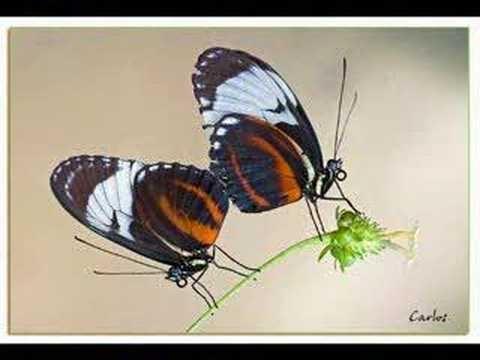 videos papallones