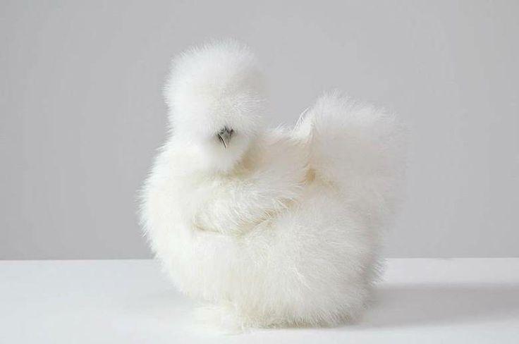 Penny é uma 'galinha sedosa', espécie de ave que tem plumagem atípica, que diz-se parecer com seda