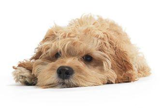 Designer honden: aparte kruisingen | De Uitgelaten Hond - Online Honden Tijdschrift