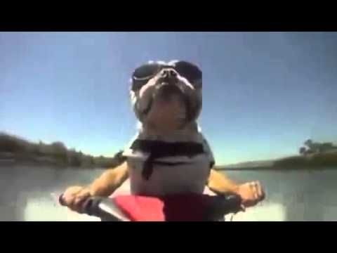 Funny Dog   Jet skiing bulldog -  #dog #dogs #funnydogs #puppy #doglover #animals #animal #pet #cute #pets #animales #tagsforlikes funny dog vines, funny dogs and cats, funny dog fails, funny dog video, funny dogs talking, funny dog compilation, funny dog children, funny dog videos 2015, funny dog and cat videos, funny dog... - #Dogs