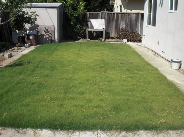 UC Verde Buffalo Grass - Drought tolerant and no mow!