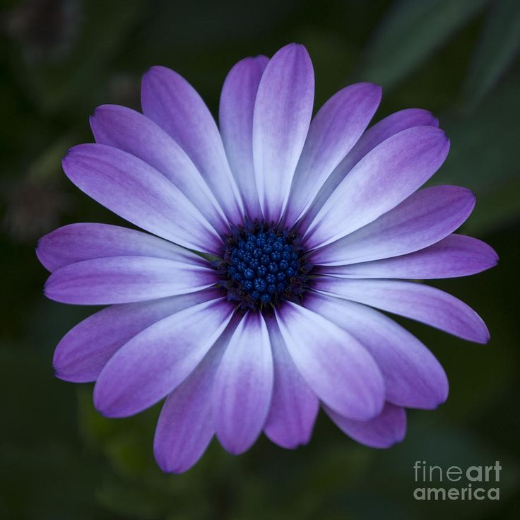Color Daisies: Tat Idea? Like The Color Gerbera Daisy Drawing