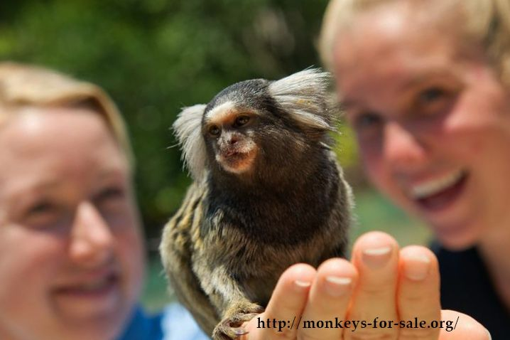how to look after a marmoset monkey
