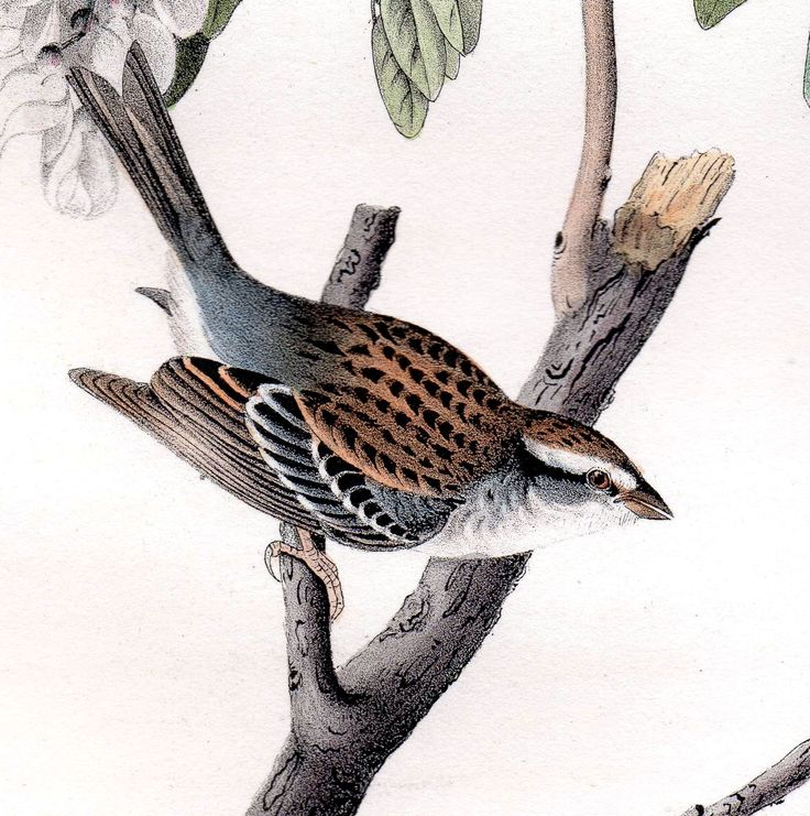 #Audubon #Bunting #ChippingBunting #WorthenSparrow #Sparrow #Animals #Birds #Antiques #Collectibiles #Mammals #FineArt #Prints #Vintage #AntiquePrints #Engraving #NaturalHistory #Nature #WildLife #Natura #StoriaNaturale #Animali #Uccelli #Arte #Stampe #StampeAntiche #Passero #Zigolo #Ortolano