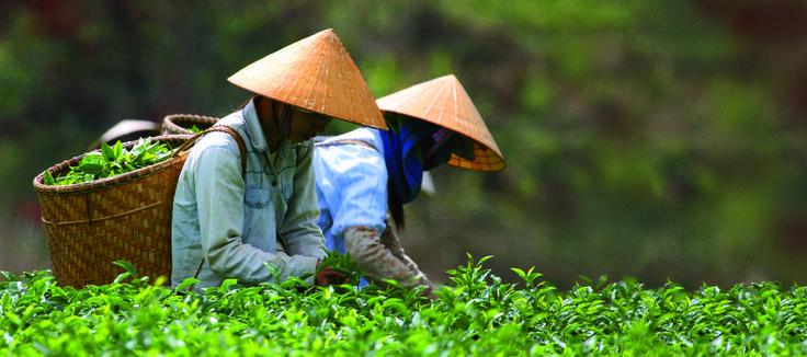 Tea Garden in China