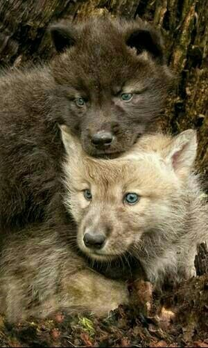 Wolf pups are born with blue eyes which change as they grow older.