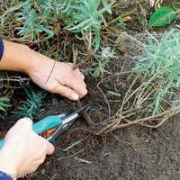 Rozmnażanie lawendy: jak rozmnażać lawendę w ogrodzie - poradnik. ZDJĘCIA