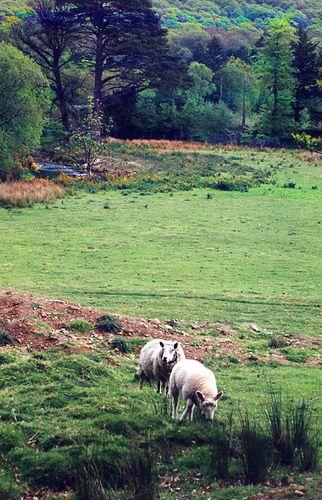https://flic.kr/p/7yz28t | Wicklow sheep 2 | near Glendalough