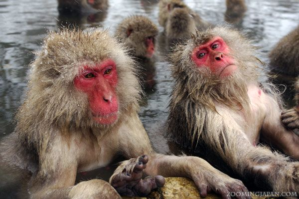 """""""Snow monkeys"""" in Nagano soaking in a hot spring during the cold season."""