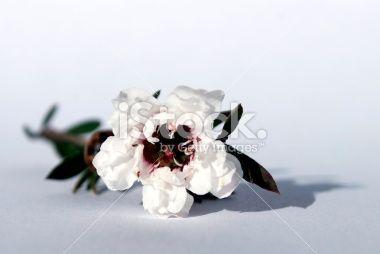 Manuka Flower Royalty Free Stock Photo