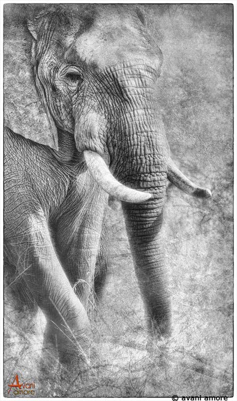 Elephant Bull photographed in Zimbabwe. Photography and Art by #avaniamore