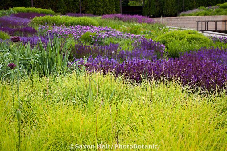 Autumn moor grass sesleria autumnalis ornamental grass for Purple grasses for landscaping