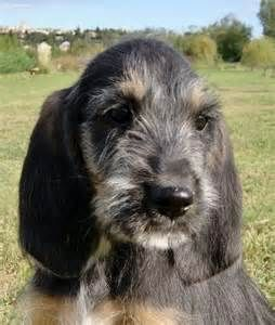 Griffon Nivernais Puppy Dog