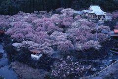 大分県大分市の一心寺は春になると約1000本のぼたん桜が咲く花見スポットとして知られています 夜にはライトアップされて昼間とは違った雰囲気を楽しむこともできますよ 日本一の大きさを誇る大念仏鐘も見ものです tags[大分県]