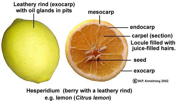 Fruit Terminology (Part 4)
