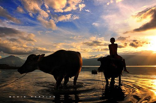 Tradition of a buffalo herd boy at Lake Toba, North Sumatra, Indonesia.  (by DocBudie ツ [away to Ladakh])