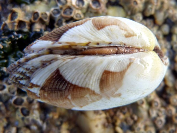 Taxonomía Visu: Phylum Mollusca