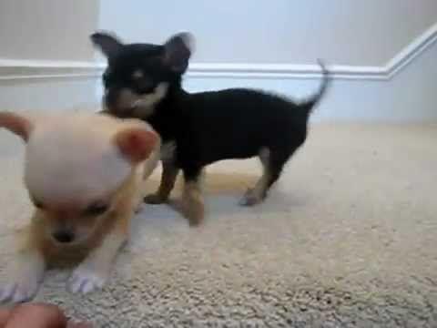 ▶ Cuccioli di Chihuahua Appena Nati !! ADORABILI !! - YouTube