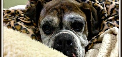 Leo the Puppy Mill Rescue Boxer Always Has His Mouth Full This senior dog spent years in a mill, where they filed his teeth, so now he lives a softer life.