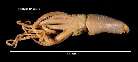 Jewel squid: Underwater Monstros