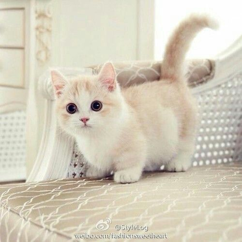 https://www.pinterest.com/pin/197454764889266737/:  OMG!  Isn't this little kitten just too adorable?  Notice the short legs and big round eyes.  I want one NOW!